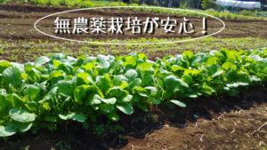 小松菜,無農薬